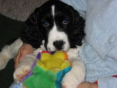 English Springer Spaniel puppy - 'Digby'