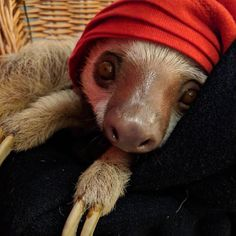 It's almost as if today was made for her. She's a pro! #nationalnappingday #sloth #slothlife