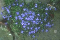 Plant photo of: Lobelia erinus