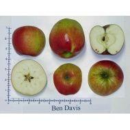 Seattle Tree Fruit Society: apple ID