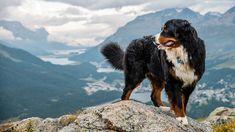 Бернский зенненхунд / Bernese Mountain Dog / Berner Sennenhund #бернский #зенненхунд #собака