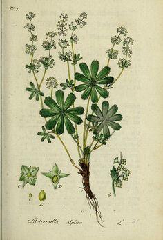 Deutschlands flora in abbildungen nach der natur /. Nurnberg :Gedruckt auf kosten des verfassers,1798-[1862].