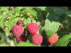 A selection of Raspberry canes that fruit over a long period. Raspberry Canes, Raspberry Bush, Raspberry Color, Growing Greens, Growing Succulents, Potager Palettes, Purple Fruit, Growing Raspberries, Red Jelly