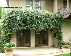 Star Jasmine - would be beautiful over a pergola! It does super here in San Angelo. Star Jasmine Vine, Trachelospermum Jasminoides, Next Garden, Dig Gardens, Forest Trail, Plant Sale, Fruit Trees, Fruit Plants, Gardens