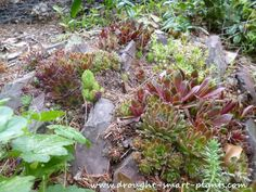 Crevice Gardens are a different type of succulent garden; low maintenance, these #xeriscape gardens are easy to build and take virtually no water...