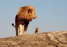 Lion with cub. Serengeti National Park,Tanzania