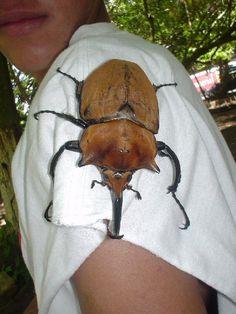 Costa Rica, Rhino Beetle... KILL IT WITH FIRE!!!