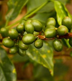 we can grow some coffee for Green Coffee Bean Extract