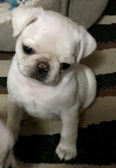 Pug Puppies, Pugs, White Pug, Shar Pei, Pug Life, Pug, Pug Dogs, Baby Pugs