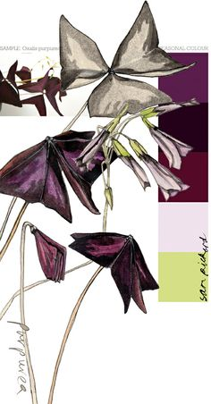 Planet Sam: Colour from the Season - Oxalis Purpurea purple Color Blending, Color Mixing, Copic, Plant Sketches, Good Color Combinations, Color Combos, Purple Color Palettes, Chinese Drawings, Botanical Drawings