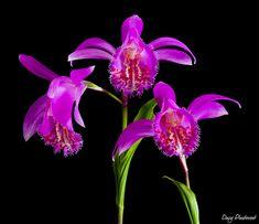 Davy Plaetevoet  Orchids  Pleione Tongariro