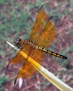 Java dragonfly