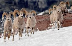 Cavorting across high-altitude snow, these formidable, nimble big horn sheep are known for their ability to climb steep, rocky mountain areas. They survive through winter by eating wood plants such as sage, willows, and rabbit brush. Rabbit Brush, Big Horn Sheep, Winter Solstice, Rocky Mountains, Beautiful Creatures, Horns, Montana, Camel, Wildlife