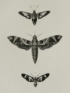 1849 antique imprimé des papillons, des espèces différentes. Papillons de nuit. Insectes. Entomologie. Lithographie de 165 ans.
