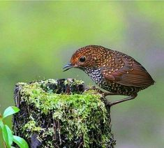 Pygmy Wren-Babbler- Bangladesh, Bhutan, Cambodia....