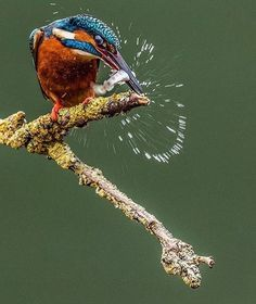KIng fisher birds- colorful birds -Kingfishers or Alcedinidae are a family of small to medium-sized, brightly colored birds in the order Coraciiformes. All Birds, Little Birds, Love Birds, Common Kingfisher, Kingfisher Bird, Exotic Birds, Colorful Birds, Pretty Birds, Beautiful Birds