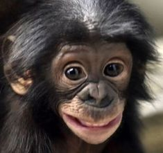 This bonobo's big grin is infectious