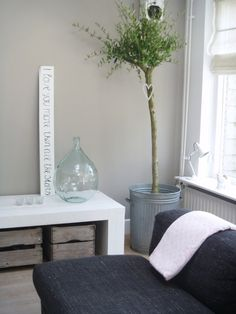 Indoor olive tree - the perfect gift for the gardener enthusiast, and it's how you present it - planted in a vintage bin or such like and then beautifully wrapped with a bow!