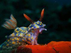 Hyseledoris:Nudibranch