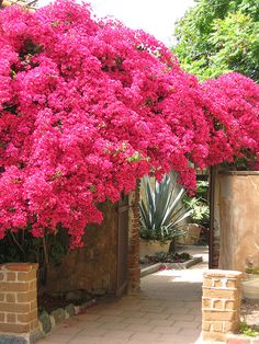 Bougainvillea-covered archway from the Mission San Juan courtyard