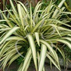 Phormium cookianum 'Cream Delight'  NZ Hemerocallidaceae  flexible leaves, P. tenax has stiffer leaves