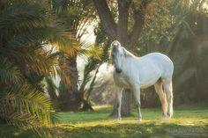 Marwari mare at oasis - Marwari mare at oasis
