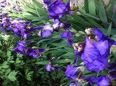 Iris - end of May 2013