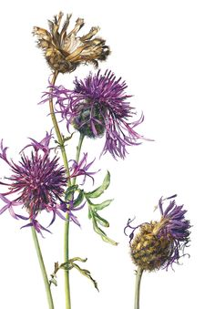 Rosie Sanders, Greater Knapweed (Centaurea scabiosa) Watercolour on Arches 640gsm, 40 1/8 x 27 1/8ins ( 102 x 70cm)