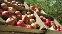 wyjątkowo smaczne jabłka na mus