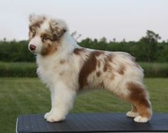 Absoloot Australian Shepherds || Looks like my baby girl sapphire!!!!!! I love her