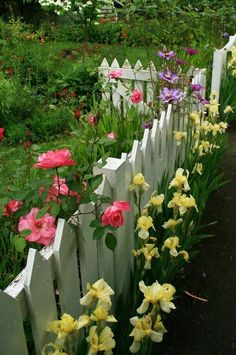 Yellow bearded iris, Melon colored roses holding up a white picket fence.