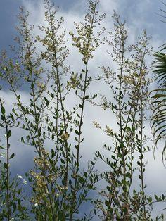 KINA ağacımın koklayamaya doyulmaz çiçeklerimin asil duruşunu kaçırmak istemeyenlere