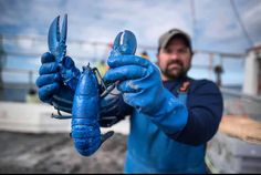 Lobsters aren't red. They turn red when cooked, but in nature they can be green or yellow or even bright blue. The oft-cited odds of catching a blue lobster are 1 in 2 million. Canadian Lobster, American Lobster, Live Lobster, Atlantic Canada, Taste Made, Lobsters, Food Pictures, Yellow, Blue