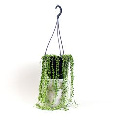 String of Pearls Senecio rowleyanus Bloombox Club Hanging Pots, Hanging Hearts, Marble Queen Pothos, Chinese Money Plant, Kangaroo Paw, Money Trees, Fiddle Leaf Fig, String Of Pearls, Soothing Colors