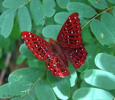 Radical Red!  The beautiful Punchinello (Zemeros Flegyas) Butterfly from southeast Asia.