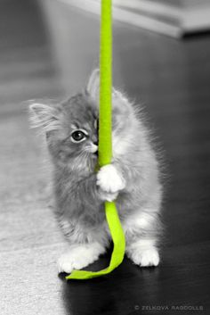 "Ragdoll Kitten ""splash"" of color #green"