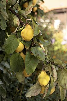 Germany, Bavaria, Quince fruit tree, close up