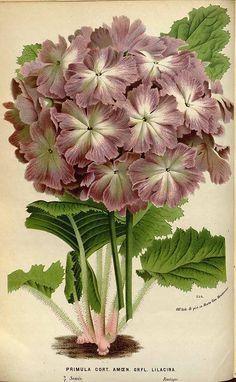 147604 Primula cortusoides L. var. amoena grandiflora lilacina / Houtte, L. van, Flore des serres et des jardin de l'Europe, vol. 19: t. 0  (1845)