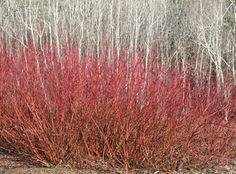 American Dogwood (Cornus Sericea) and Quaking Aspen (Populus Tremuloides) - landscape - by Tom Debley