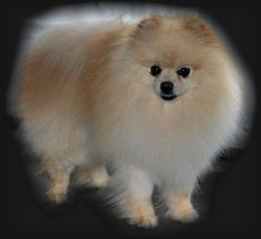 photos of cream colored pomeranians - Google Search