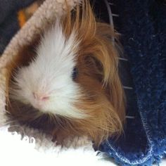 …right? #fluffy #guineapig #mochi