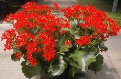 Nombre científico o bien latino: Kalanchoe blossfeldiana Nombre común o bien vulgar: Calanchoe, Kalanchoe Familia: Crasulaceae.