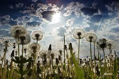 Image result for field of dandelions
