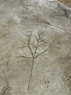 Leaf imprints in concrete                                                                                                                                                                                 More