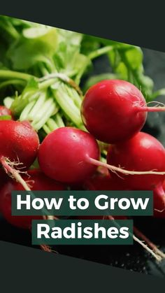 How To Grow Radishes (Gardening Guide) Planting Radishes, Planting Vegetables, Planting Seeds, Growing Vegetables, Home Grown Vegetables, Types Of Vegetables, Growing Lettuce, Growing Tomatoes, Gardening For Beginners