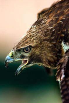 The 25 Toughest Animals in America Cheetah Pictures, Bird Pictures, Animal Pictures, Black Animals, Animals And Pets, Wild Animals, Hawk Wings, Green Anaconda, Hawk Photos