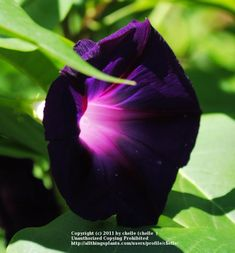 Love this dark morning glory, 'Grandpa Ott's'. Would look really pretty paired with a blue morning glory. With pink/apricot peonies or roses close by.