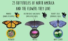 23 Butterflies of North America And the Flowers They Love | Our Daily Ideas