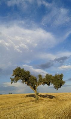 Cork tree in September, Alentejo #Portugal www.casanaaldeia.com