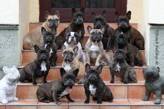 ♥ Great Group Shot & everybody sat still ! ♥  Posted from Yvonne Schwed FRENCH BULLDOG WORLD